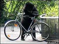 Juan the spectacled bear examines a bicycle at Berlin Zoo (Reuters)