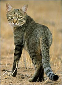 The cats at Shillourokambos may have been like this African wildcat