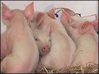 تقرير عن مرض إنفلونزا الخنازير _40023118_pigs203