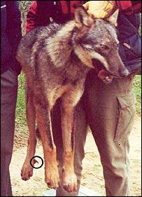 Siena wolf, Ciucci