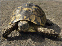 Herman the tortoise (Picture, The Journal)
