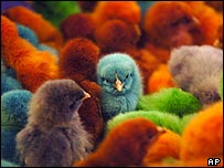 Brightly coloured chicks at a farm in Alaska