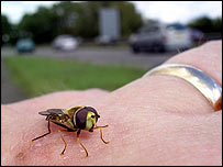 Hoverfly on hand   Grahame Madge, RSPB