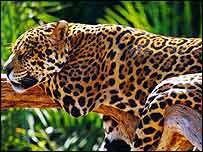 Jaguar   WWF-Canon/Michel Gunther