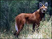 Maned wolf   WWF-Canon/Martin Harvey