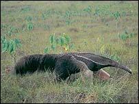 Giant anteater   WWF-Canon/Roger LeGuen