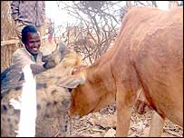 Cow playing with the hyena