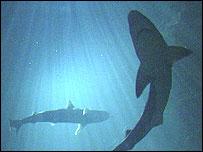 Shark (generic)