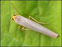 Scarce footman (Rothamsted Research)