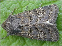 Hedge rustic (Rothamsted Research)