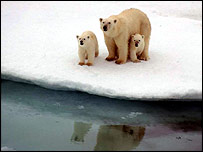 Polar bear and cubs   A Gerdes, IODP