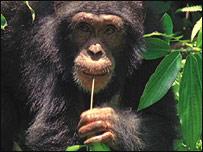 Chimp and tool, BBC