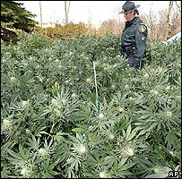 Ontario policewoman in a marijuana field during a raid
