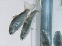 Experimental trout (RDS)