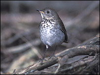 A Grey-cheeked thrush, Mike Danzenbaker