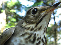 A Swainson's thrush, Laura H. Spinney