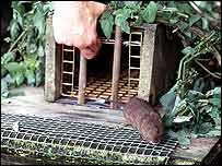 Vole walks out of mink trap   (Ufaw)