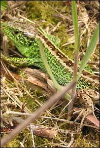 A sand lizard