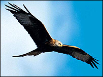 High levels of poison have been found in Red Kite