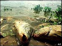 Peces muertos en medio de residuos tóxicos