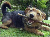 A dog with a stick, BBC