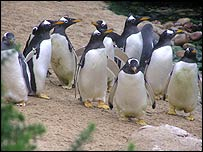 Gentoo penguins. Courtesy of Living Coasts