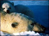 Bear and cub, Svalbard   WWF