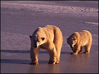 Mother bear and cub, Canada   WWF