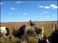 A cowboy herding zebus in Madagascar