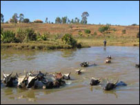 Cattle crossing a crocodile infested river in Madagascar