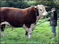 Swampy the prize-winning Hereford bull