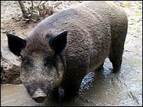 Wild boar - generic
