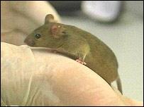 Mouse, BBC