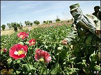 Campo de amapola en Afganistán.
