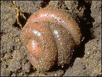Hibernating earthworm, Roger Key/Buglife
