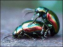 Dead-nettle leaf beetle (Chrysolina fastuosa), Ben Hamers/Buglife