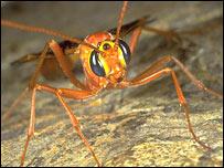 Ophionine ichneumonid, Roger Key/Buglife