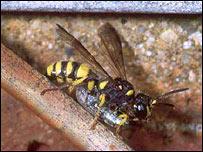 Rare weevil hunting wasp (Cerceris quadricincta), Peter Har/Buglife
