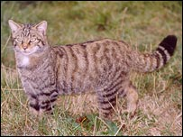 Scottish wildcat, Mammals Trust UK