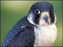 Peregrine falcon (picture courtesy of Scottish Natural Heritage)