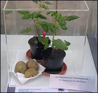 A potato altered to produce a low-calorific carbohydrate (BBC)