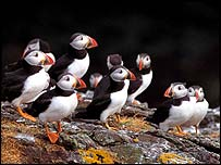 Puffins   George McCarthy/rspb-images.com