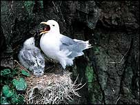 Kittiwake and chirck   Chris Gomersall/rspb-images.com