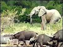 Elephant in Virunga National Park