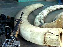 Tusks in Virunga National Park