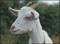 Goat, BBC