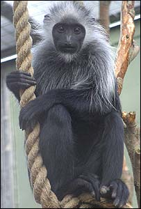 Sierra - Black and White Western Colobus Monkey - Picture from Newquay Zoo