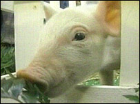 Transgenic pig, BBC