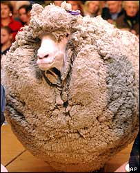 hairy sheep