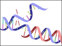 DNA strand, BBC